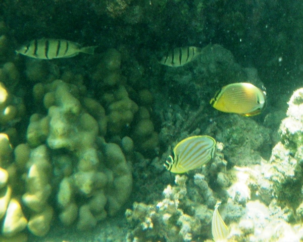 Out snorkeling, didn't realize how scarce these cute pairs of butterflyfish were until I went home to study up on them. Glad I took a movie!
