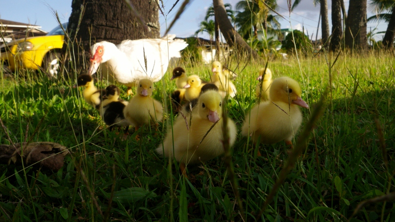 "Some new friends for Ben. This mommy duck had 13 babies out in a median on ""duck road"" in Kailua. We stopped and went to visit with them. Ben even got to pat a little peeper on the head. They were so cute!"