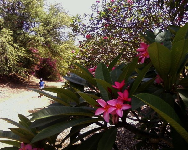 A bike/run through the Koko Crater botanical garden, with plumerias in peak bloom.