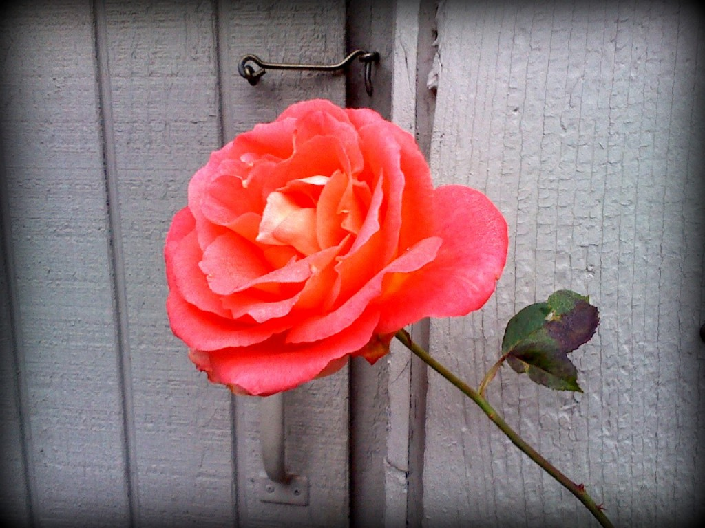 Out on a jog down Sunrise I spotted this rose. Loved the grey wall behind it.