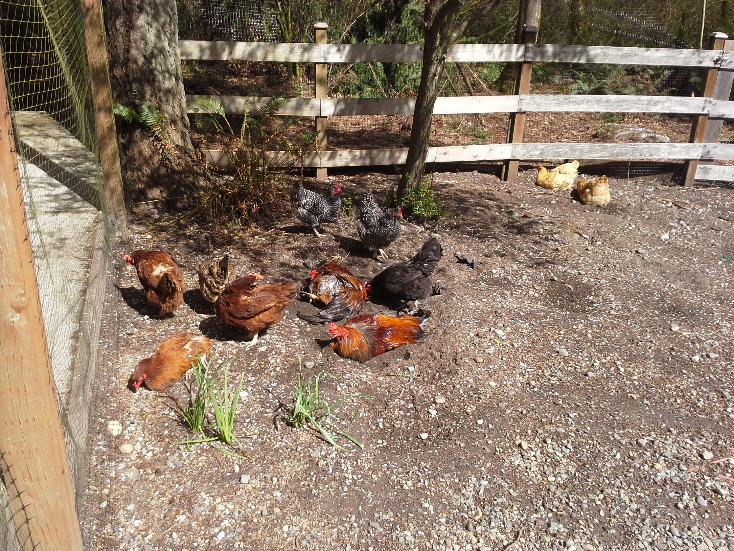 The chickens did a lot of lounging, too. We had glorious weather here, thankfully. Near 60 degrees and sunny 4 out of 5 days!