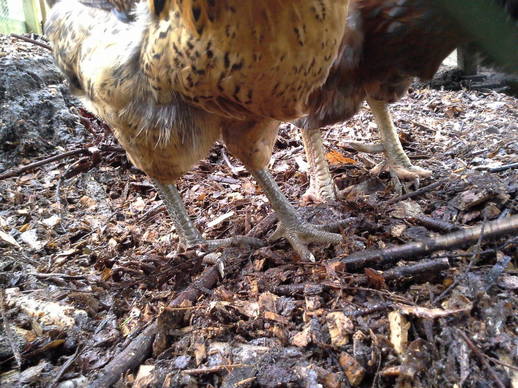 More young hen feet - these are the young pullets who are just about starting to lay.