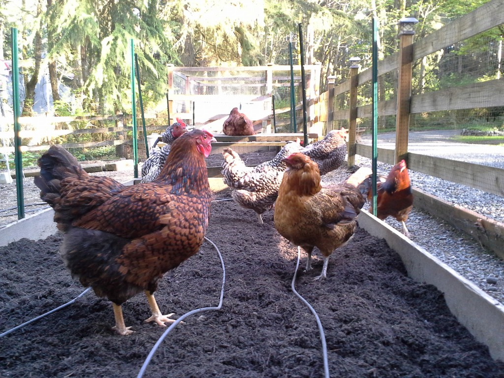 Chickens are helping in the garden...NOT!
