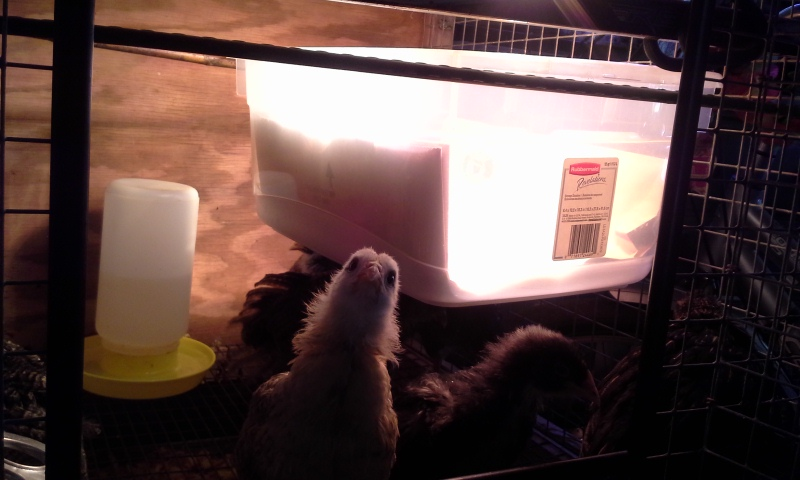 "The hutch with the bigger chicks, and the ""loft"" with the two newest ones."