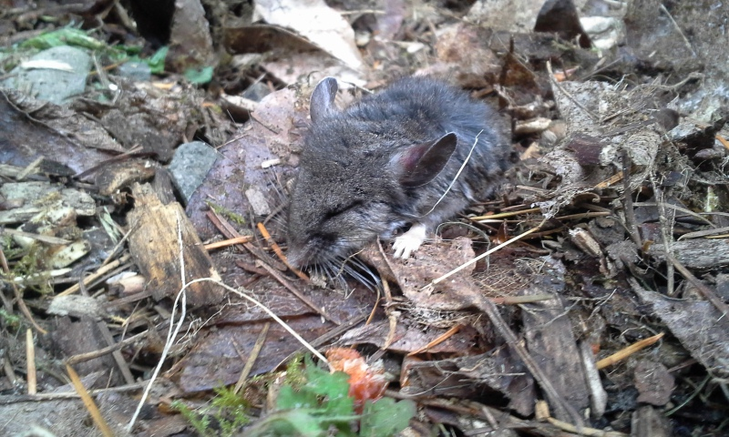 Poor mouse...or mole? Or vole?